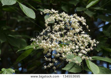 elderflower (Sambucus nigra) in bloom in the garden selected focus