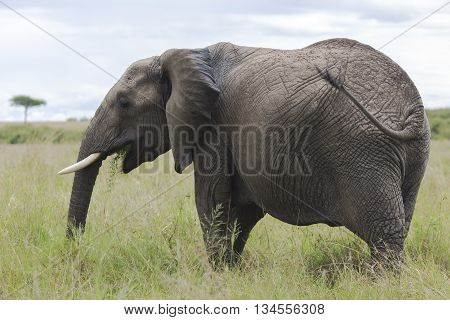 African bush elephant (Loxodonta africana) grazing in the meadows of the savanna in Tarangire National Park, Tanzania.