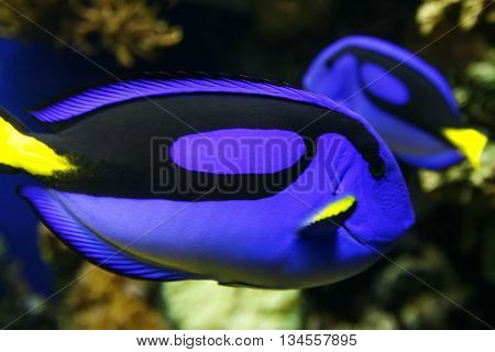 Blue Tang In Water