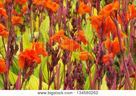 A background of a huge field with beautiful bright orange flowers.