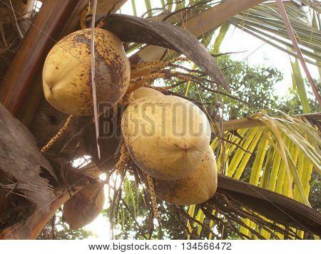Orange coconut hanging on the coconut tree on coconut field