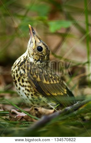 Baby Song Thrush On Forest Floor