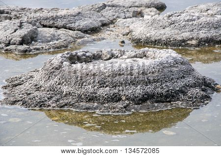 Closeup of a cluster of partially submerged stromatolites, oldest living marine fossils, at Lake Thetis in Western Australia.