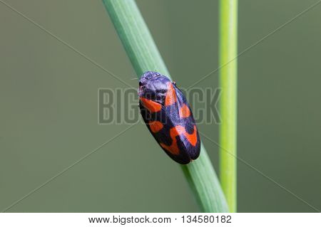 black-and-red froghopper (Cercopis vulnerata) on a grass stalk