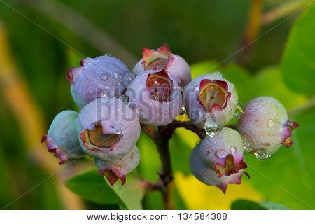 Blueberry fruit (Vaccinium myrtillus) with water drops