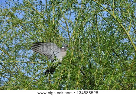 Common wood pigeon. Wild forest pigeon. The common wood pigeon (Columba palumbus) is a large species in the dove and pigeon family.