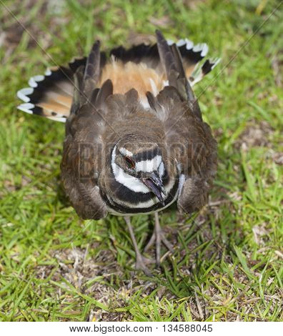 Killdeer belting out a warning that the camera is too close to the nest