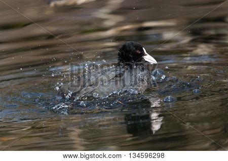 black coot (Fulica atra) grooming in the water