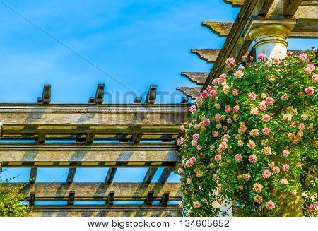 Pink roses growing on the wooden pergola against blue sky