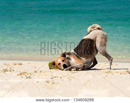 Happy dog put it head on sand beach with the beautiful sea background. Black and white funny dog playing on beach at sea in summer time.