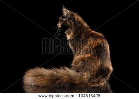 Brown Maine Coon Cat Sitting with Furryy Tail and Curious Looks Isolated on Black Background, Side view