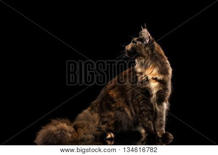 Brown Maine Coon Cat Sitting with Furryy Tail and Looking Back Isolated on Black Background, Side view