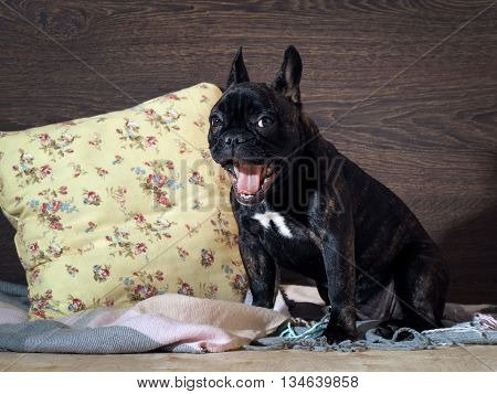 Funny funny puppy yawns. Dog sitting on a bed. The dog is black thoroughbred - French bulldog. Portrait of a black dog