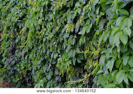 Background of green Virginia creeper (ivy) leaves