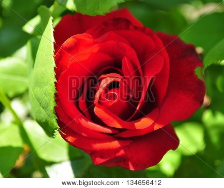 Beautiful red rosebud with leafes in the garden