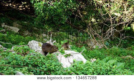 Rock Hyrax on stones in the Tsitsikamma National Park in South Africa