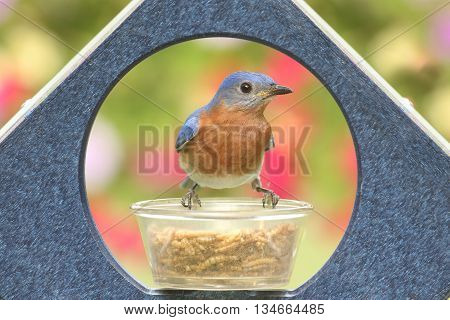 Male Eastern Bluebird (Sialia sialis) on a feeder