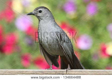 Gray Catbird (Dumetella carolinensis) on a fence with flowers
