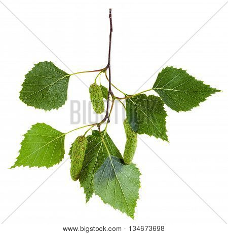 Twig Of Birch Tree With Green Leaves And Catkins