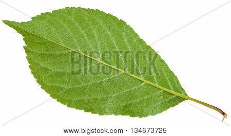 Back Side Of Prunus Padus Green Leaf Isolated