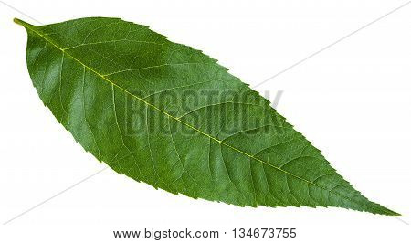 Green Leaf Of Fraxinus Excelsior Tree Isolated