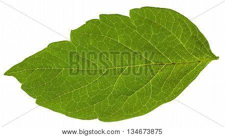 Green Leaf Of Acer Negundo (maple Ash) Tree