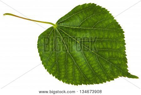 Green Leaf Of Tilia Cordata Tree Isolated