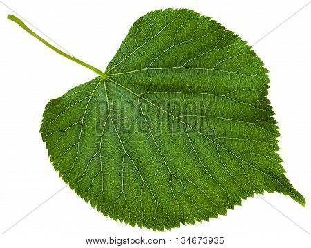 green leaf of Tilia platyphyllos tree ( largeleaf linden large-leaved lime) isolated on white background