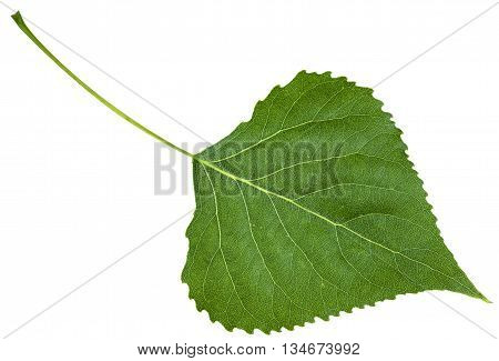 Backside Fresh Leaf Of Birch Tree Isolated