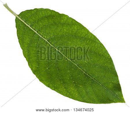Green Leaf Of Sallow Willow Isolated