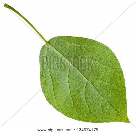back side of green leaf of Populus canadensis ( Canadian poplar hybrid of Populus nigra and Populus deltoides) isolated on white background poster