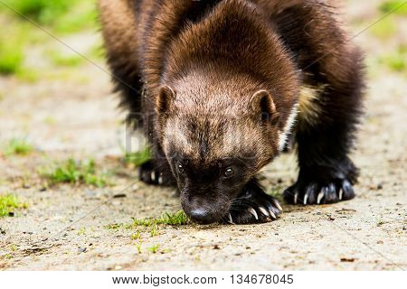 Wolverine hunter catching scents along the ground in forest clearing poster