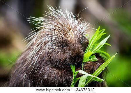 New World Porcupine Eating