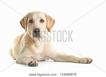 Cute Labrador dog sitting isolated on white
