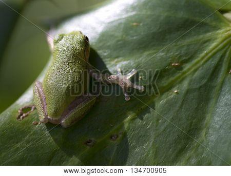 Alabama Pine Barrens Green Tree Frog  Hyla Andersonii