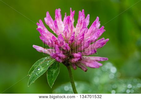 Bloom of isolated red clover (Trifolium pratense) with green background