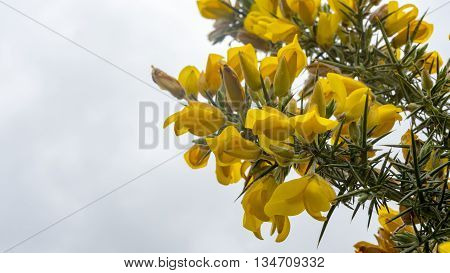 The yellow flower of a Gorse Bush in England