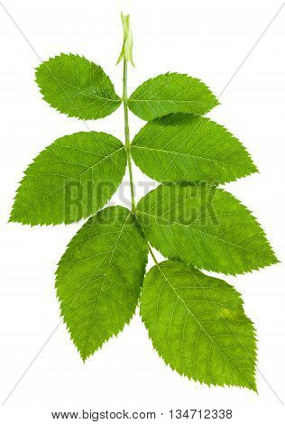 Twig With Green Leaves Of Rosa Canina