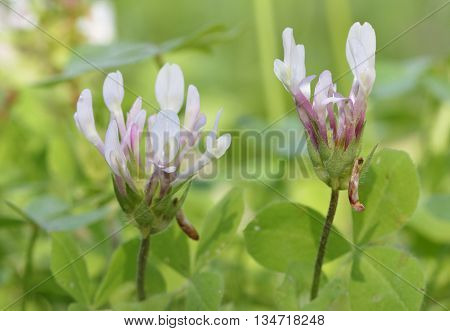 Shield Clover - Trifolium clypeatum Common Wild Flower in Cyprus