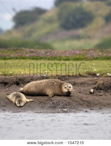 these two common seals arre pictured resting on the banks of the estuary. this image was captured at seal sands in the north east of the uk. poster