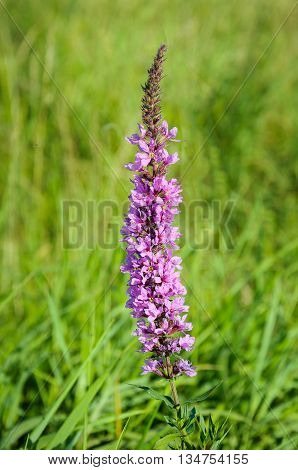 Closeup of a flowering purple loosestrife or Lythrum salicaria plant in it own natural habitat on a sunny day in the summer season.