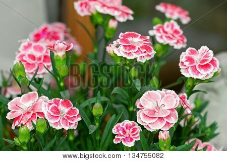 Closeup photo of Carnation flowers in pink with white border (Dianthus caryophyllus) blooming during summer in Austria, Europe
