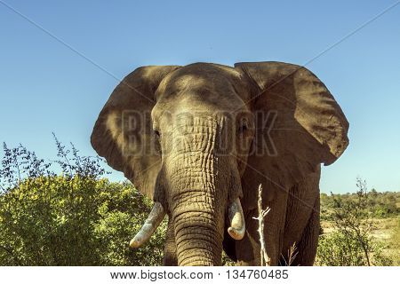 portrait of an african bush elephant in Kruger Park, South Africa