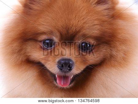 Brown Pomeranian Dog, Cute Pet In Home