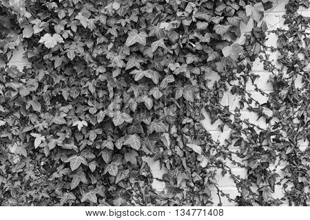 Ivy Hedera with glossy leaves and white veins on the wall. Black and white photo