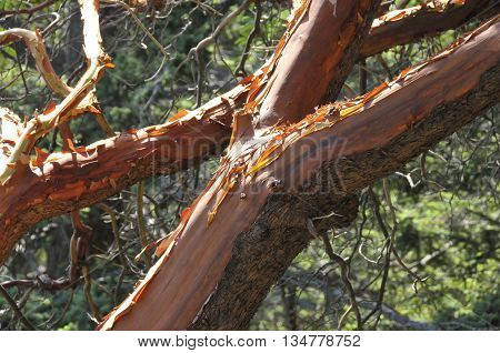 A red tree with peeling bark over a forest.