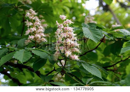 Branch Of Horse-chestnut Flowers