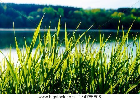 detail of grass halm at a lake in morning time