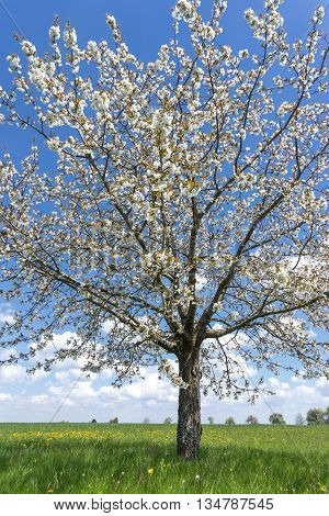 Blooming cherry tree in a meadow in spring