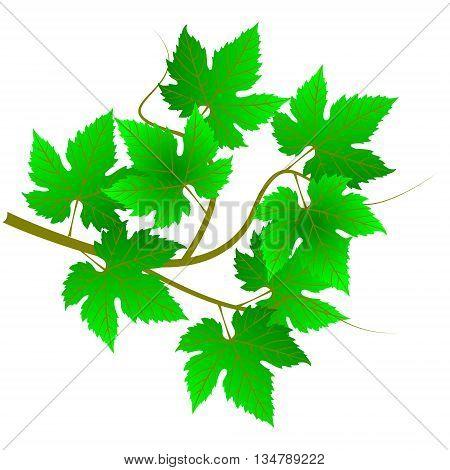green twig .  vine leaves , green vine ,